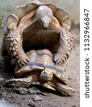 sulcata tortoises mating  close ... | Shutterstock . vector #1132966847