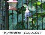 blue jay bird songbird flying... | Shutterstock . vector #1133002397