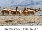 Heard Of Vicugna Or Vicuna  A...
