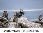 grey herons standing on the... | Shutterstock . vector #1133231207