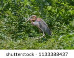 red heron which is moving... | Shutterstock . vector #1133388437