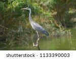 gray heron standing on the... | Shutterstock . vector #1133390003