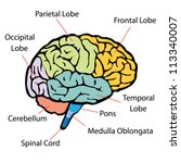 brain sections vector | Shutterstock .eps vector #113340007