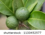 fresh green lime fruits  leaves ... | Shutterstock . vector #1133452577