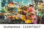 beautiful fish in an aquarium.   Shutterstock . vector #1133472617
