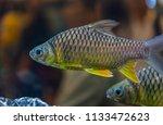 beautiful fish in an aquarium.   Shutterstock . vector #1133472623