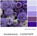 Allium flower background colour palette with complimentary swatches. - stock photo