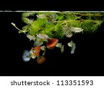 fish guppy pet isolated on black background - stock photo