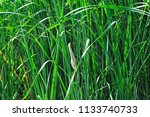 a small heron hides in the... | Shutterstock . vector #1133740733