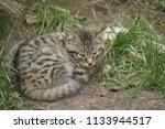 Stock photo scottish wildcat kittens 1133944517