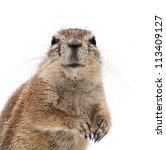 Cape Ground Squirrel  Xerus...