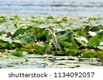 little heron searches for prey... | Shutterstock . vector #1134092057
