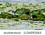 little heron searches for prey... | Shutterstock . vector #1134092063