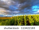 Small photo of Field of corn with stormy clouds in Sweden