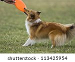 Playful young female sheltie drawing a frisbee - stock photo