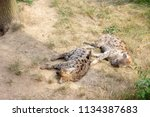 sleeping hyenas in the zoo  | Shutterstock . vector #1134387683