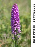southern marsh orchid ...   Shutterstock . vector #1134411233
