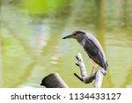 black crowned night heron ... | Shutterstock . vector #1134433127