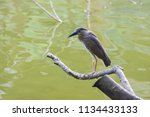 black crowned night heron ... | Shutterstock . vector #1134433133