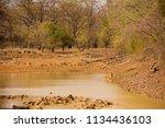 tiger bathing amongst watchers   Shutterstock . vector #1134436103