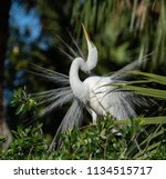 great egret in breeding plumage  | Shutterstock . vector #1134515717