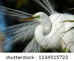 great egret in breeding plumage  | Shutterstock . vector #1134515723