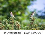 a pair of finches look like...   Shutterstock . vector #1134739703