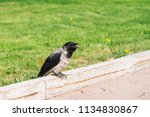 black crow walks on border near ... | Shutterstock . vector #1134830867
