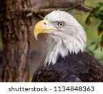 image of an american bald eagle ...   Shutterstock . vector #1134848363