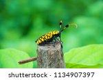 common tuft bearing longhorn... | Shutterstock . vector #1134907397
