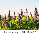 lupinus perennis in sunset... | Shutterstock . vector #1135038647