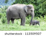Stock photo baby elephant side by side with its mother 113509507