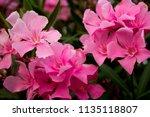 oleander or nerium oleander... | Shutterstock . vector #1135118807