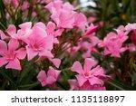oleander or nerium oleander... | Shutterstock . vector #1135118897