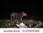capybara photographed in the... | Shutterstock . vector #1135405583