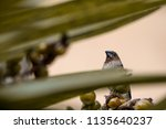 bird scaly breasted munia or ... | Shutterstock . vector #1135640237