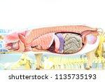 internal organs of pig. pig... | Shutterstock . vector #1135735193