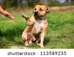 Staffordshire bull terrier gives paw for friendship - stock photo