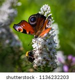 a beautiful butterfly sits on a ... | Shutterstock . vector #1136232203