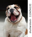 English Bulldog laughing - stock photo