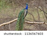 a peacock showing his plumage | Shutterstock . vector #1136567603
