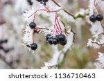 detail of black colored berries ... | Shutterstock . vector #1136710463