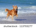 young golden retriever running...