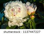 decorative peony flower of... | Shutterstock . vector #1137447227