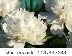 decorative peony flower of... | Shutterstock . vector #1137447233