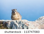The Hyrax Was Seen On The Tabl...