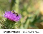 bee on thistle | Shutterstock . vector #1137691763