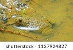 yellow bellied toad  bombina... | Shutterstock . vector #1137924827