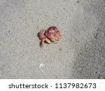 a dead crab at the beach  | Shutterstock . vector #1137982673
