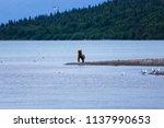 small bear playing on a beach | Shutterstock . vector #1137990653